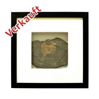 Ammonite selten