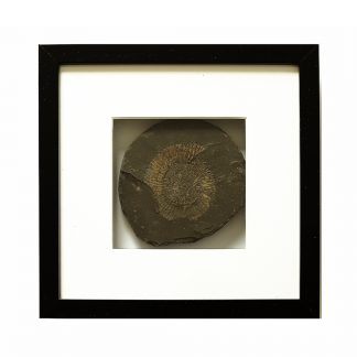 limitiert Fossil gerahmt Museum Ammonite